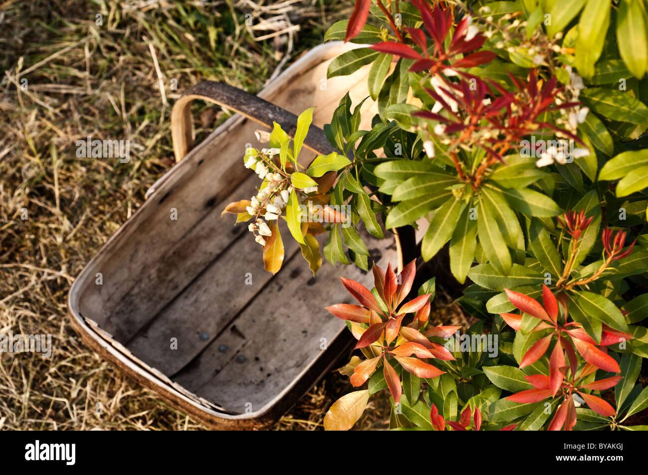 wooden garden trug and shrub - Stock Image