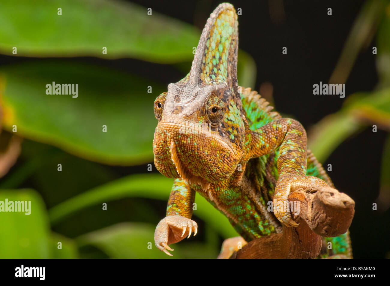 Chameleon facing camera reaching out with claw - Stock Image