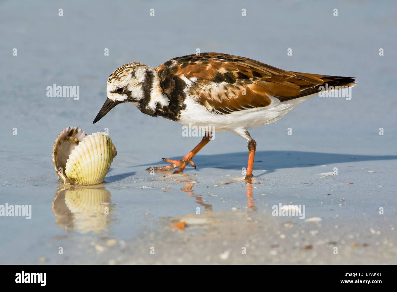 An adult Ruddy Turnstone checking out shell fish on a Floridian beach - Stock Image