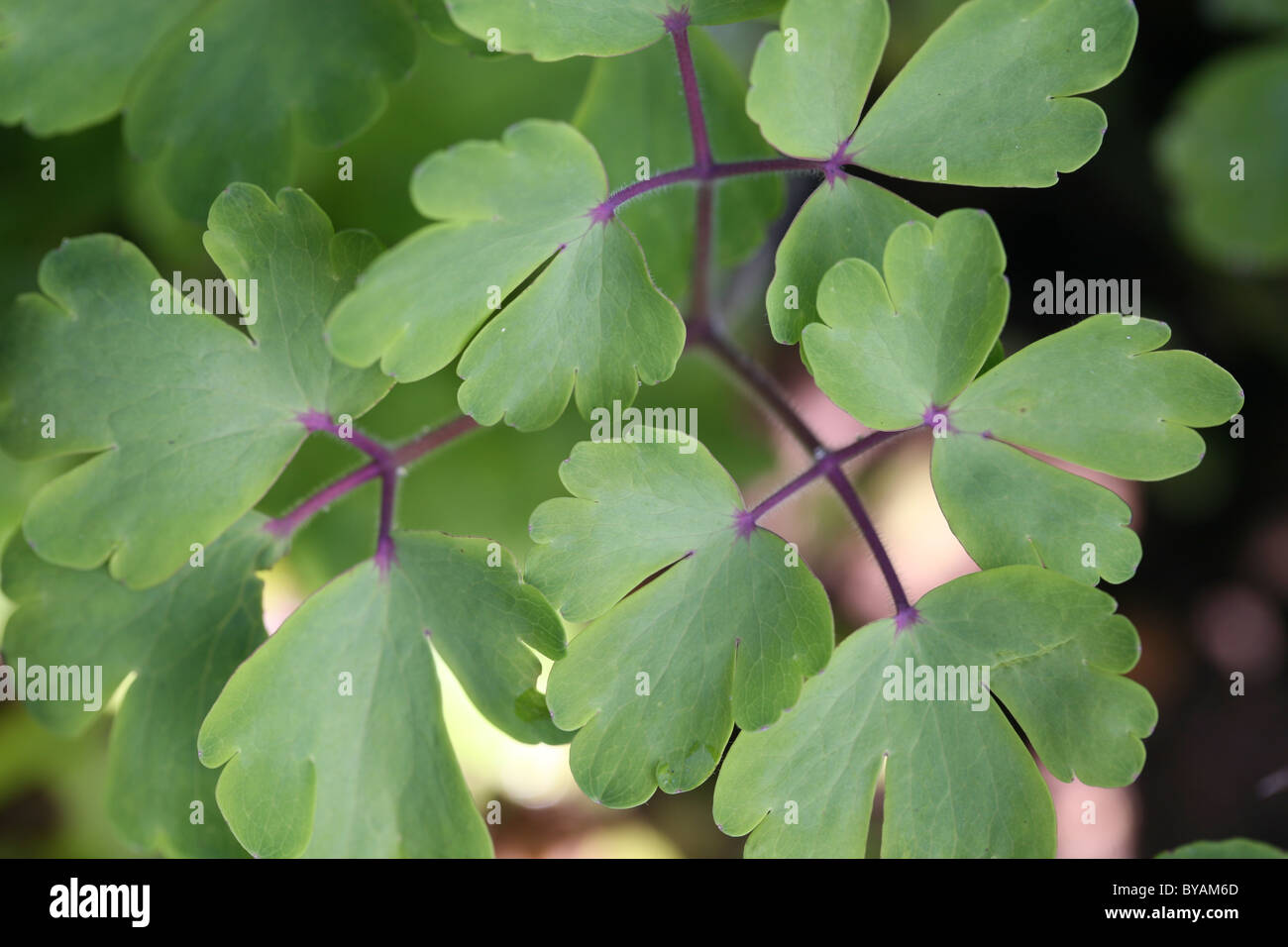 Columbine Leaves Stock Photos Columbine Leaves Stock Images Alamy