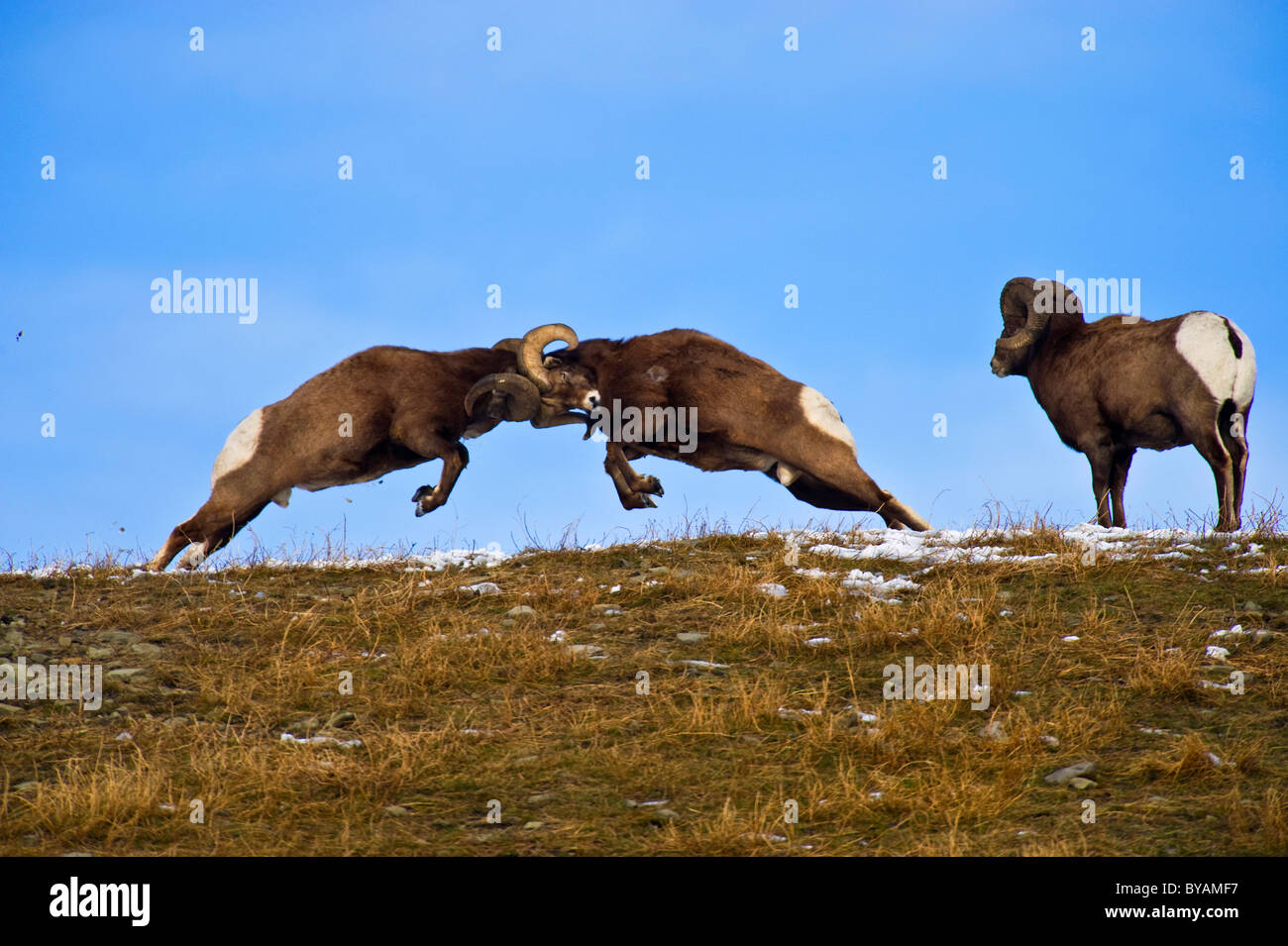 Two Bighorn Sheep butting horns on a grassy hill top - Stock Image