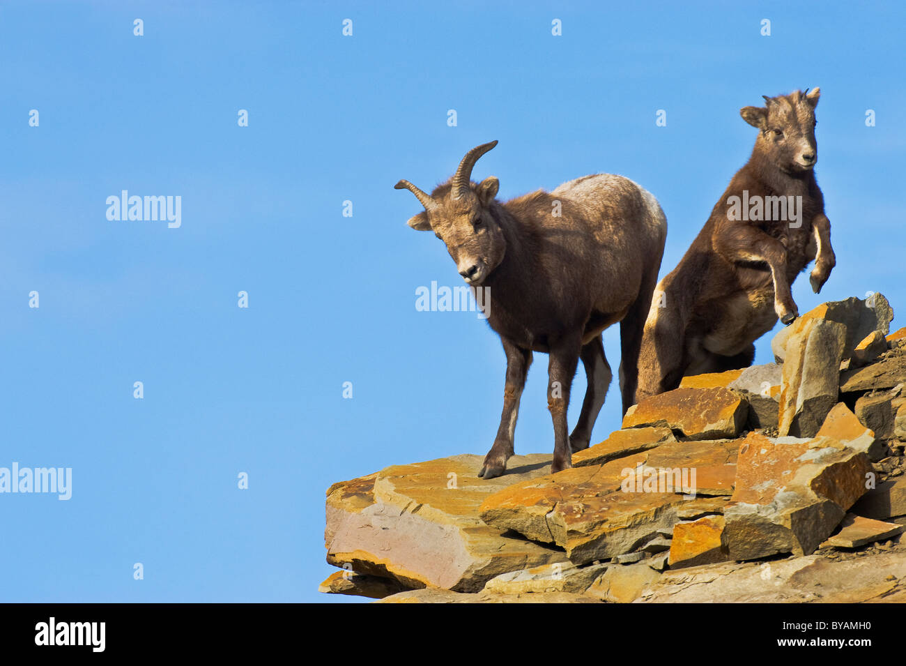 A Bighorn Sheep mother with a young baby on a rocky out crop near the top of a mountain. - Stock Image