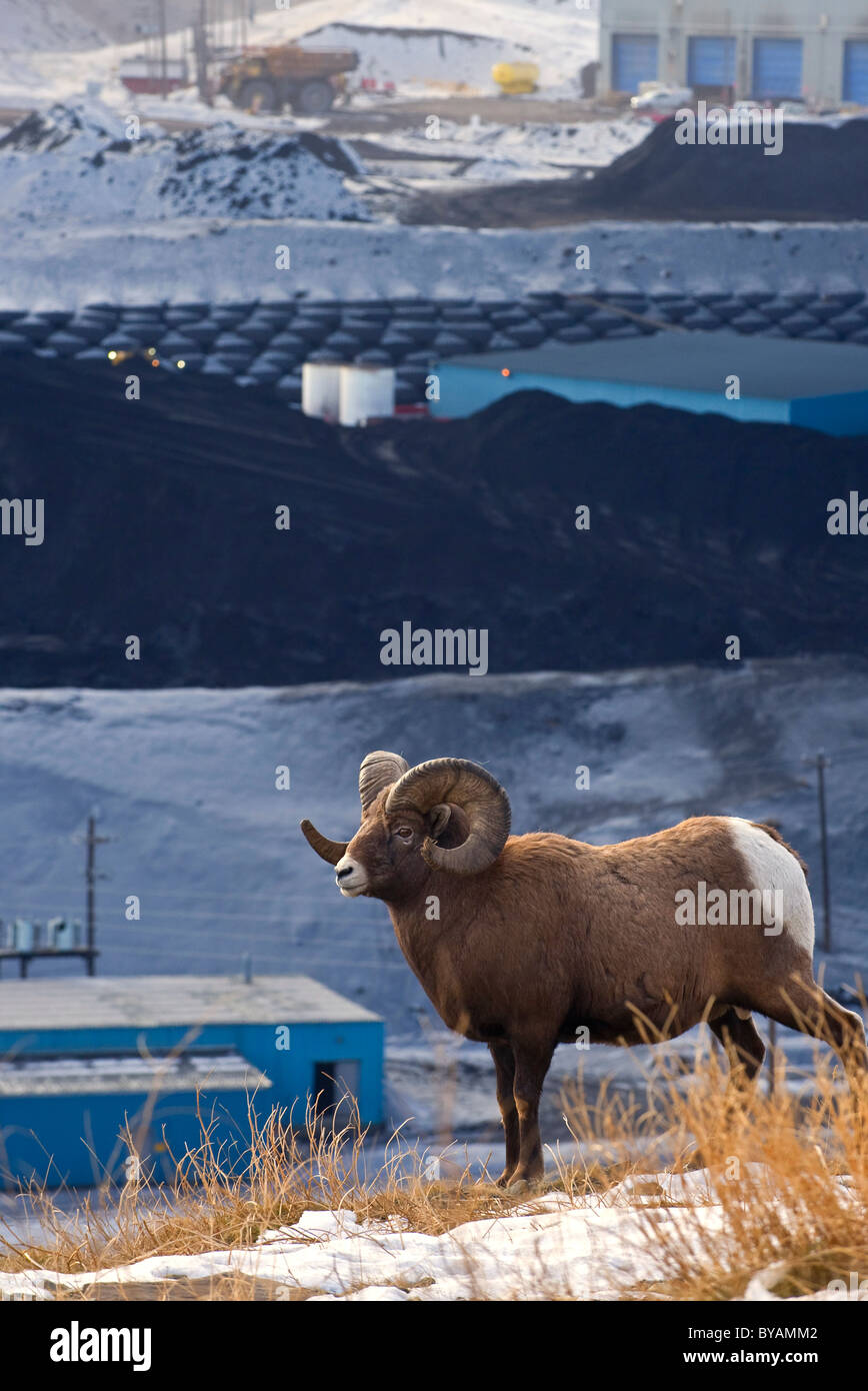 An adult Bighorn Sheep walking along a ridge overlooking a coal mine processing plant. Stock Photo