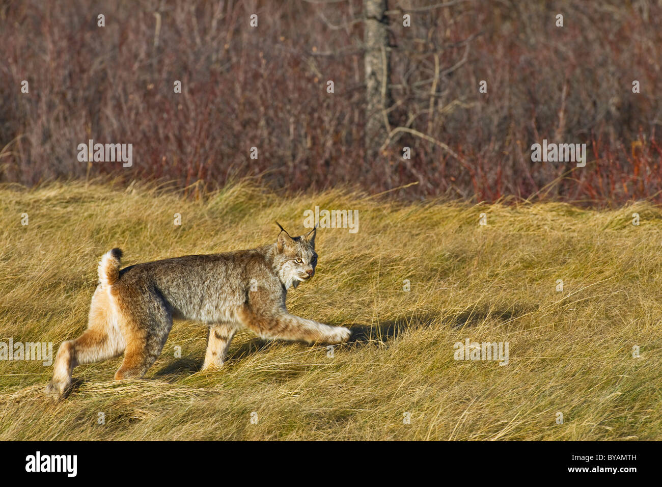 A Canadian Lynx walking through the tall grass. - Stock Image