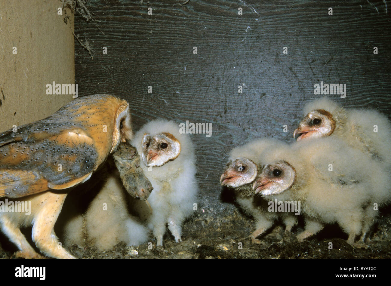 Barn owl (Tyto alba), adult feeding the young birds a mouse - Stock Image