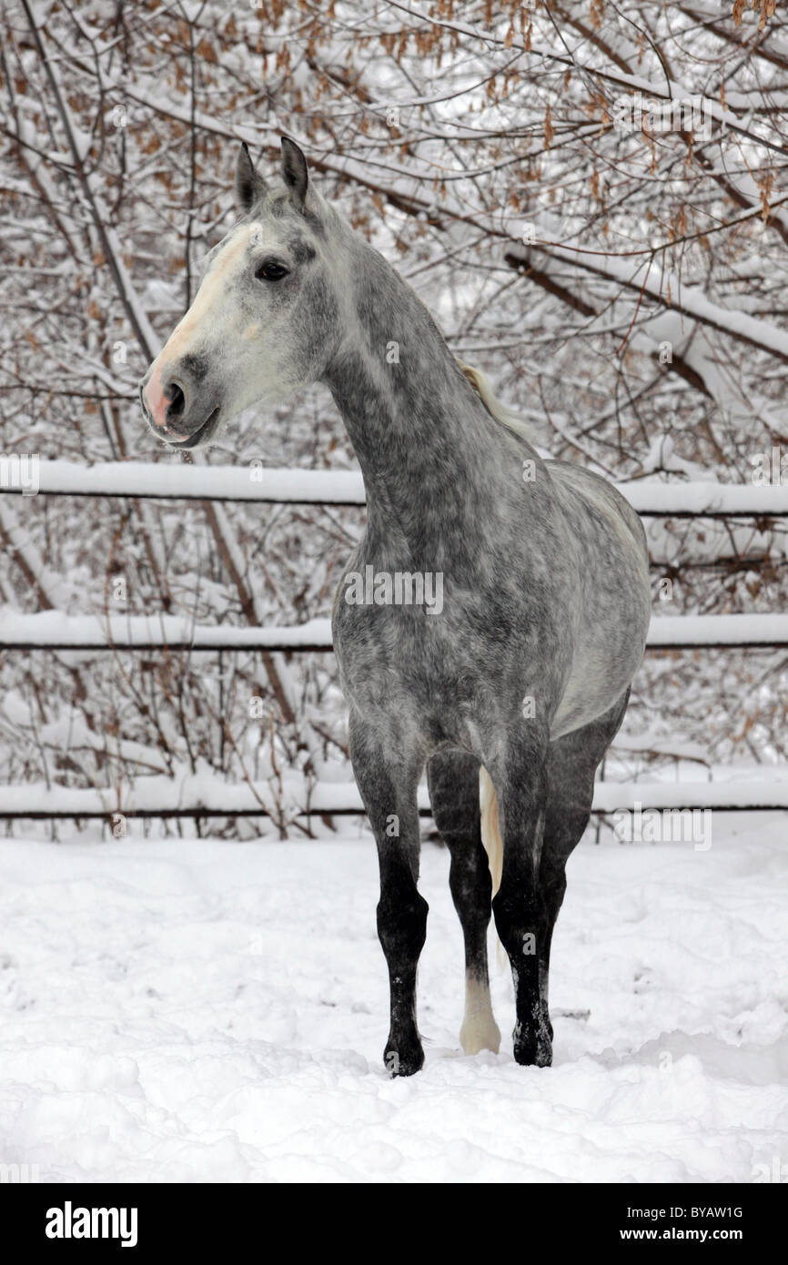 Portrait of a gray horse in a winter day - Stock Image