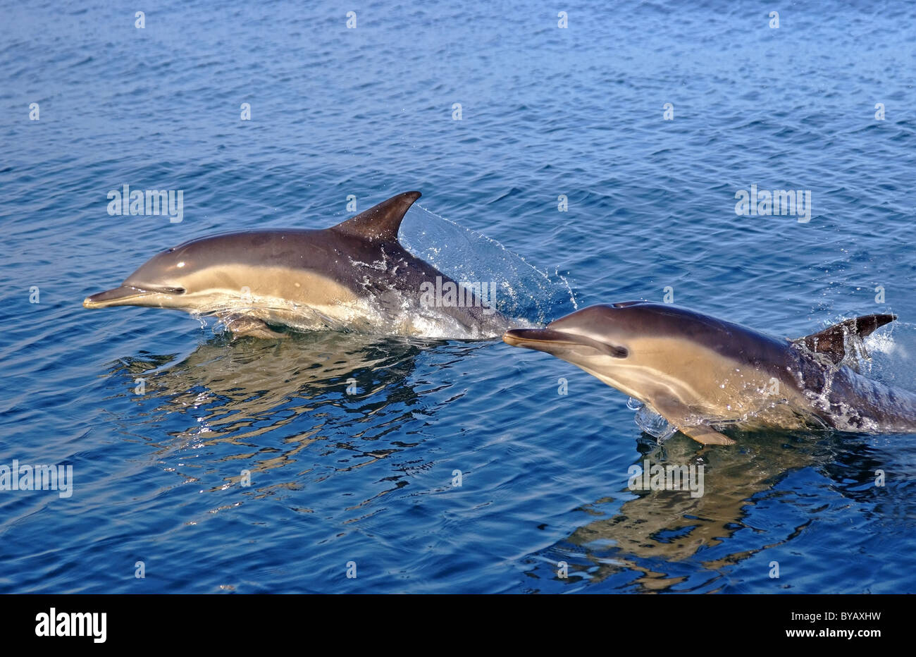Common Dolphins jumping beside boat - Stock Image
