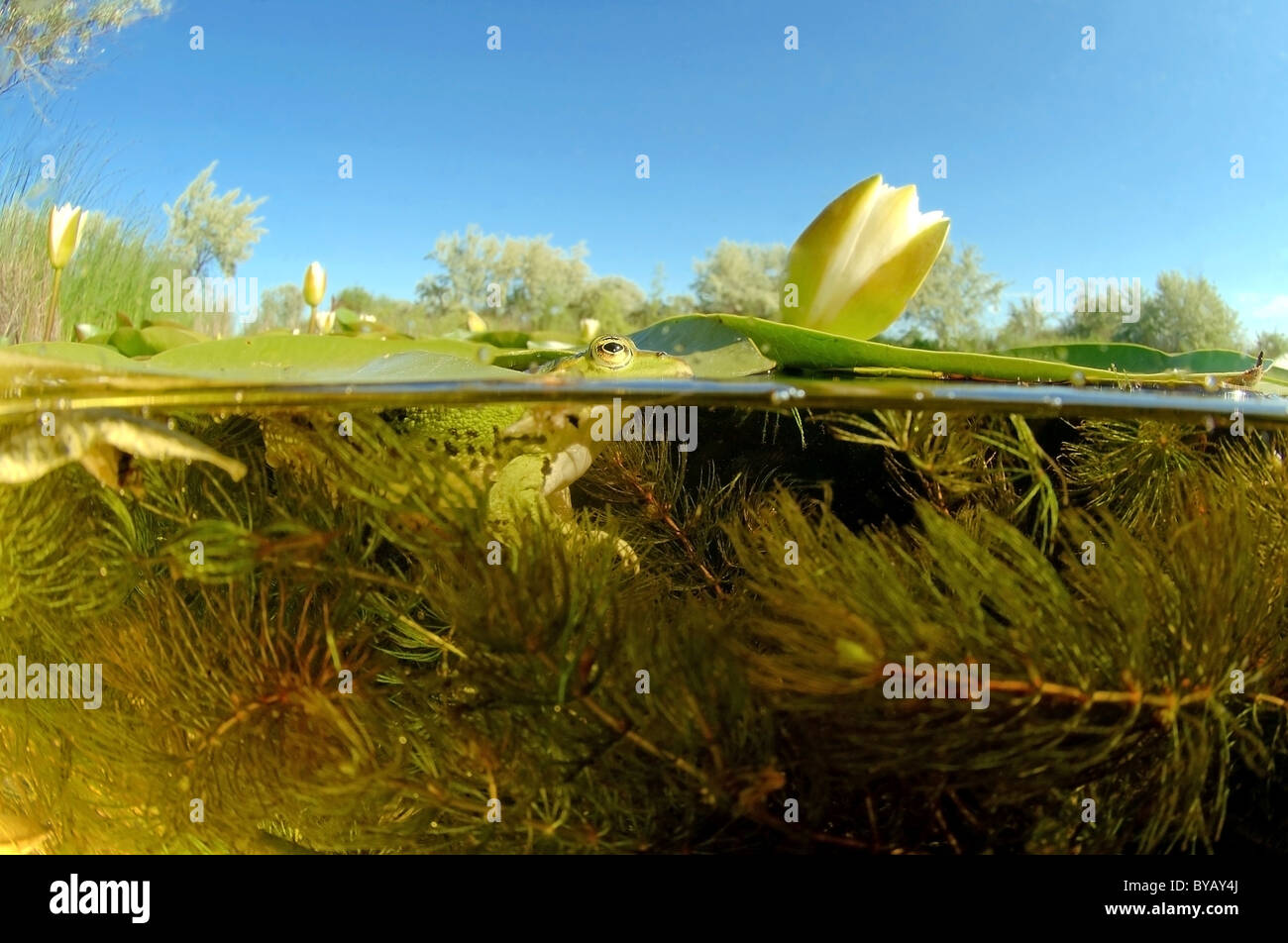 Split level, frog (Rana temporaria) and white water lily (Nymphaea alba) - Stock Image