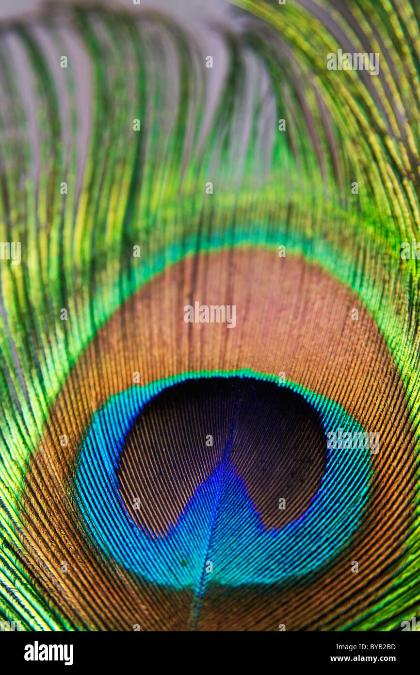 Peacock feathers / feather close up detail. - Stock Image