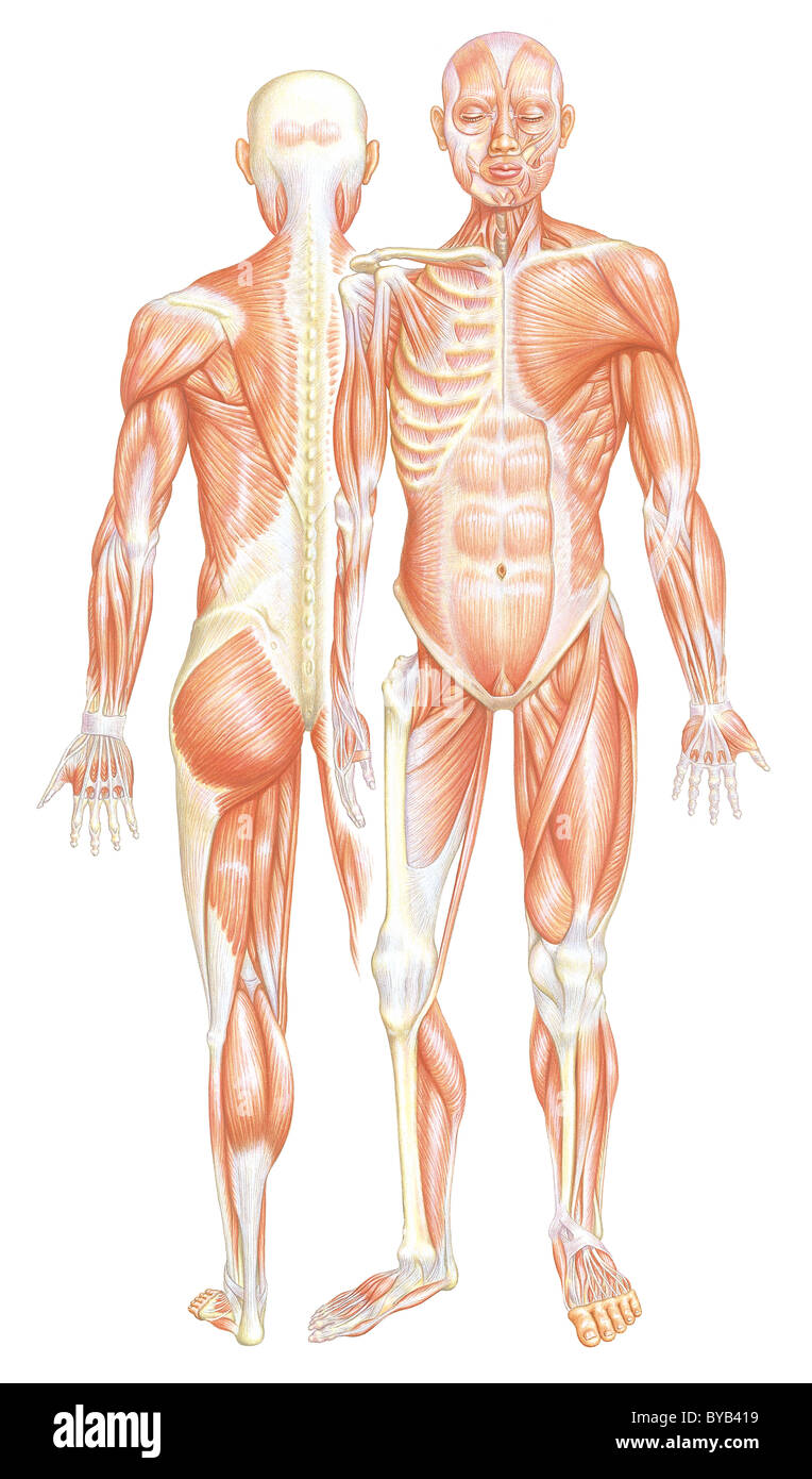 an illustration with front and back views of a human muscular system