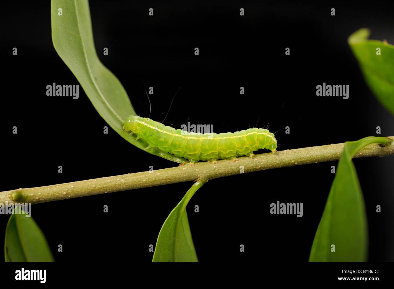 Winter Moth (Operophtera brumata) caterpillar - Stock Image