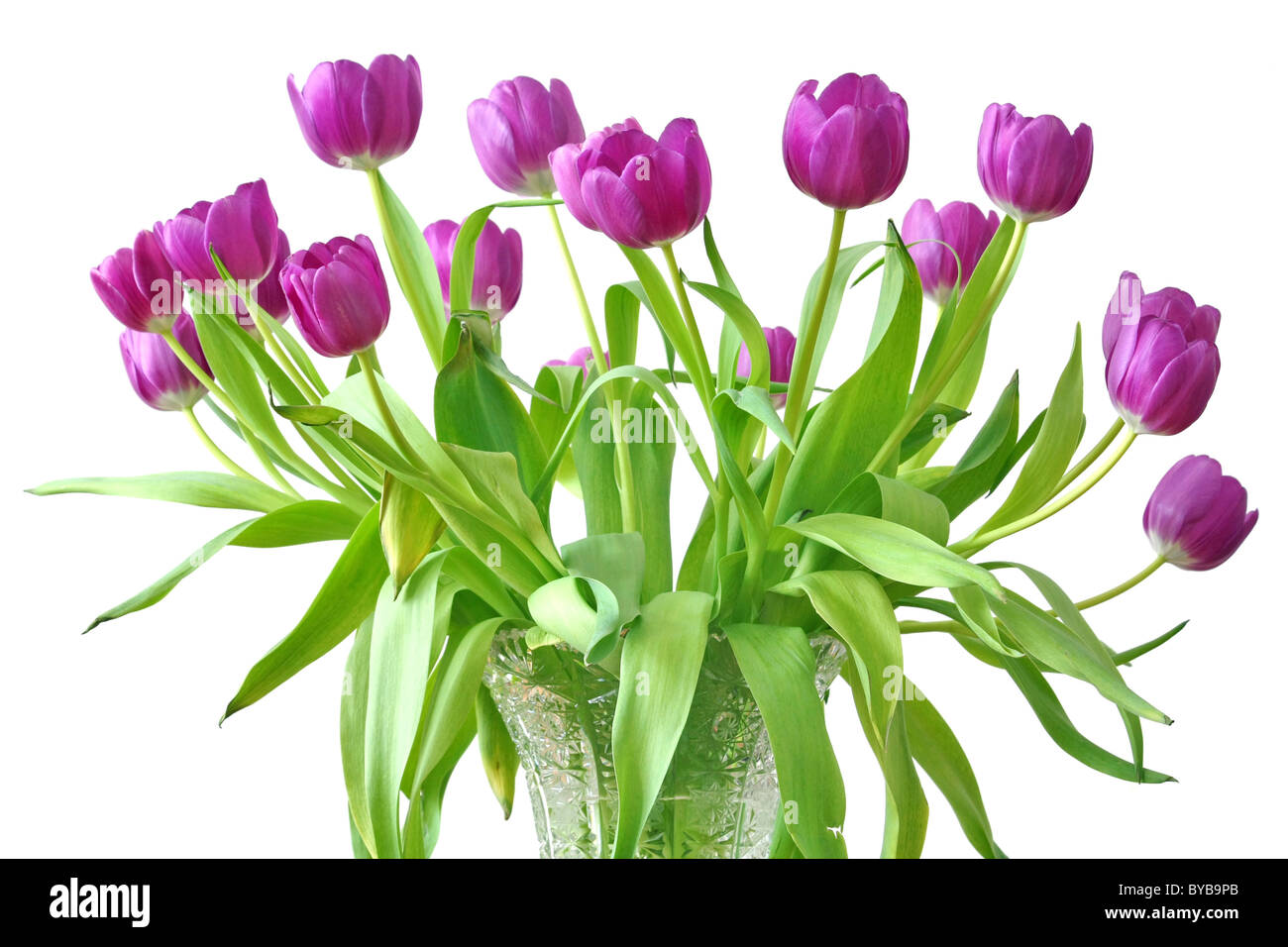 violet tulips - Stock Image