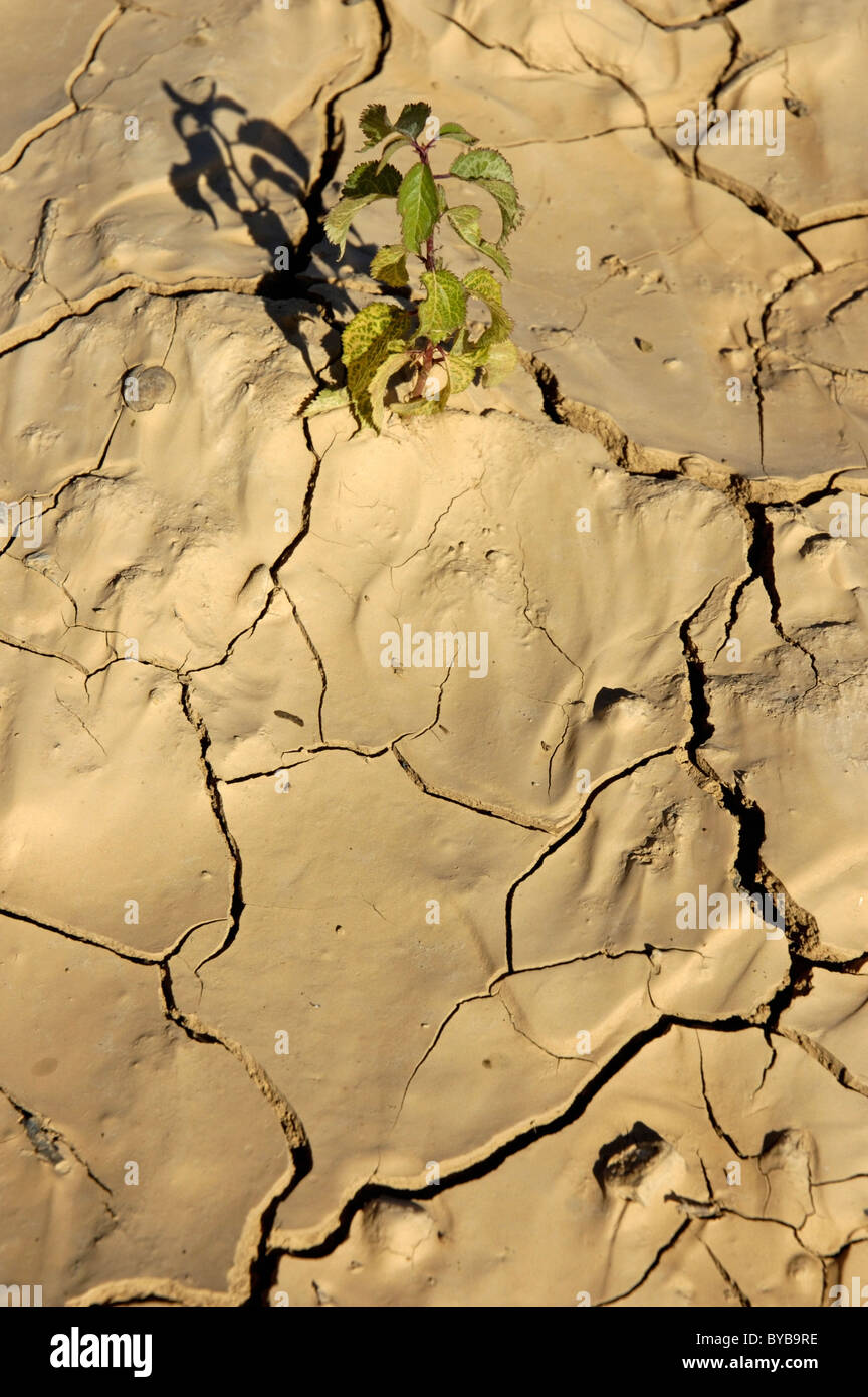 Green plant growing in cracked dry soil. - Stock Image