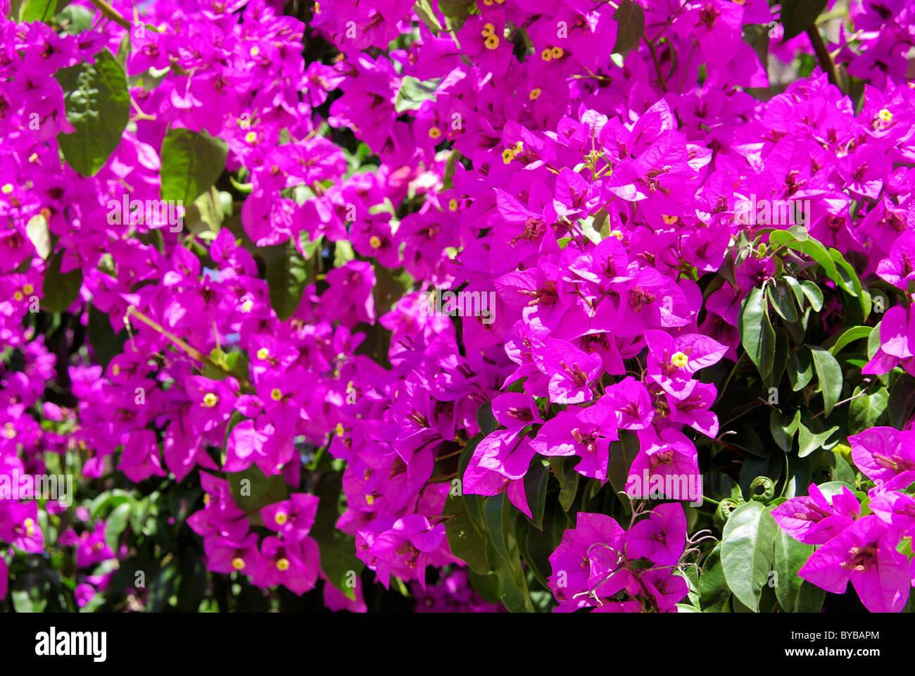 Bougainvillea 16 - Stock Image