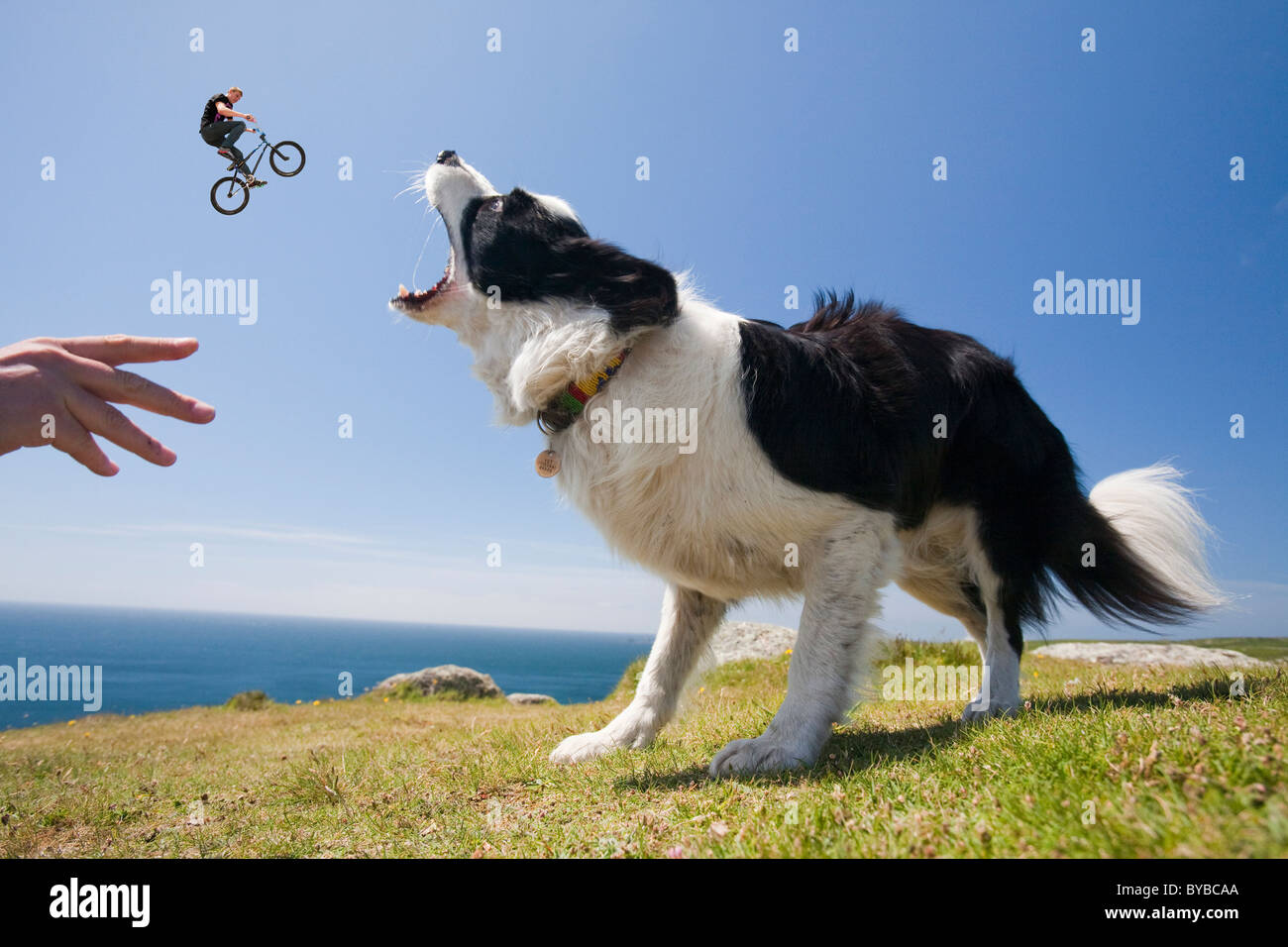 A Border Collie dog waiting for a stick on the Cornish cliff tops near Lands End, with a jumping trick cyclist. - Stock Image