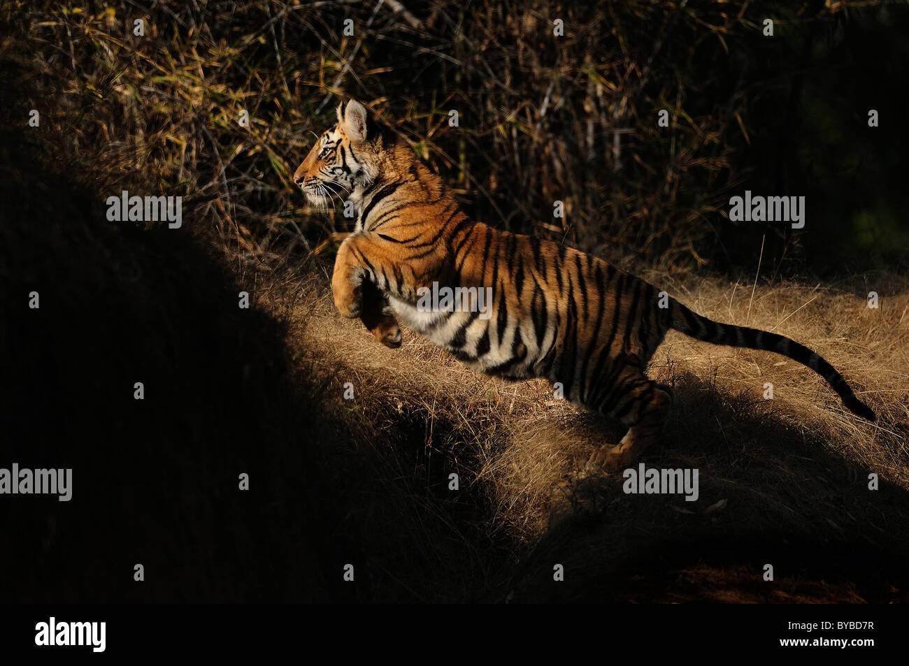 7-month-old female Bengal Tiger cub leaping in play in light and shade in Bandhavgarh Tiger Reserve, India - Stock Image
