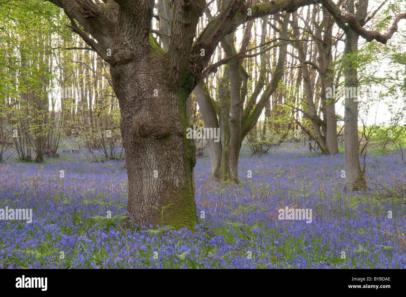 Bluebell (Endymion non-scriptus) under trees. Oak (quercus sp.) West Sussex, UK. April. - Stock Image