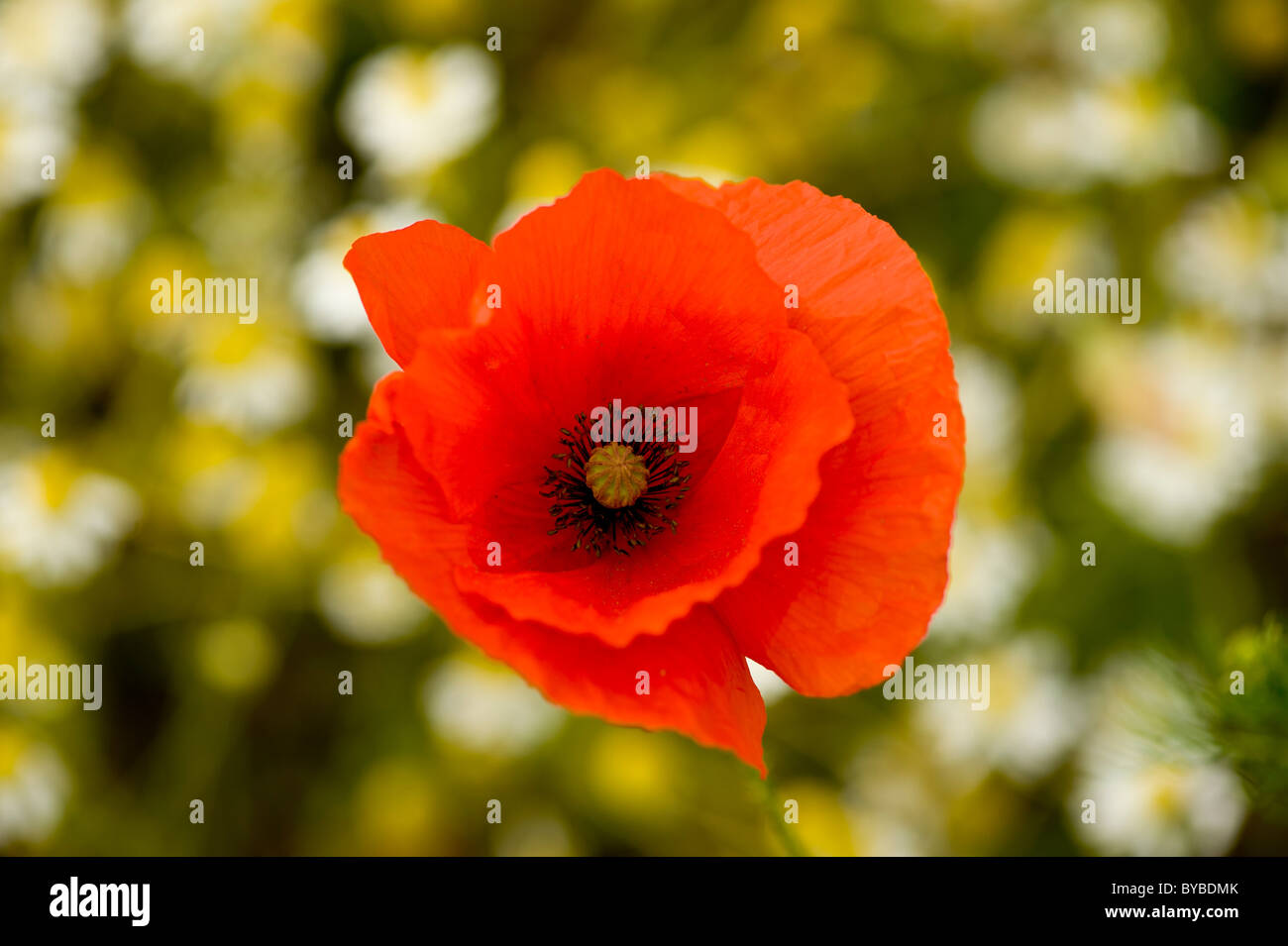 Single red poppy growing wild in UK meadow with daisies in background. - Stock Image