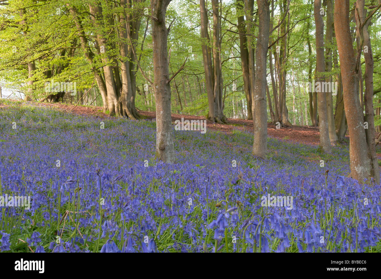Bluebell (Endymion non-scriptus) under trees. Oak (quercus sp.) and Common beech (Fagus sylvatica). West Sussex, - Stock Image