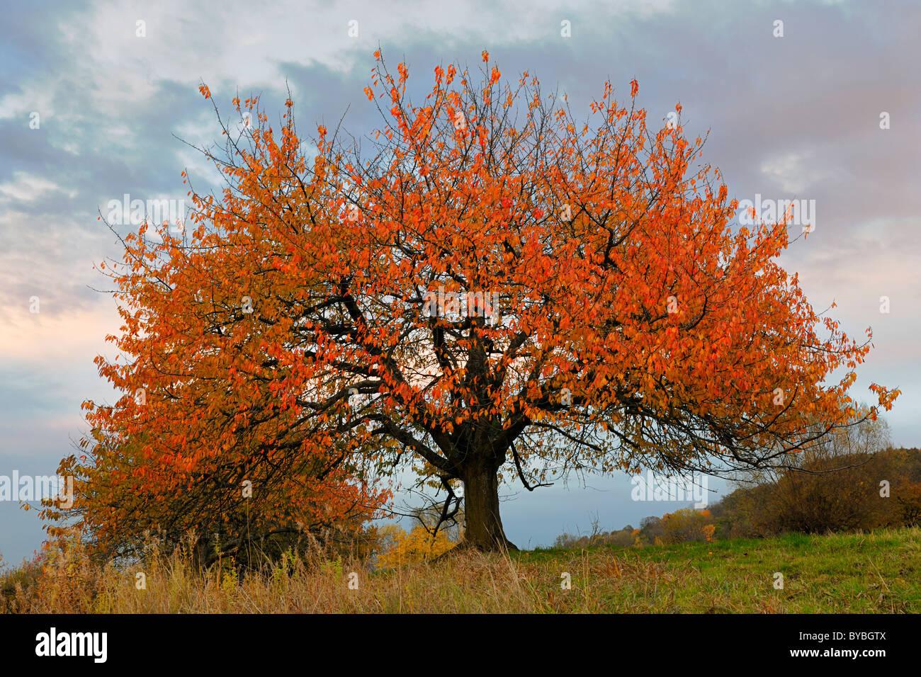 Autumnal cherry tree in the fading light, Biosphaerengebiet Swabian Alb biosphere region, Baden-Wuerttemberg, Germany, - Stock Image