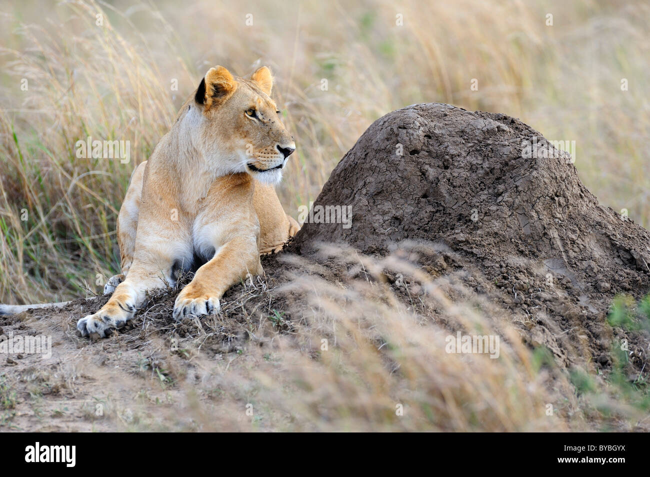 Lion (Panthera leo), female resting on a termite mound, Masai Mara National Reserve, Kenya, Africa - Stock Image
