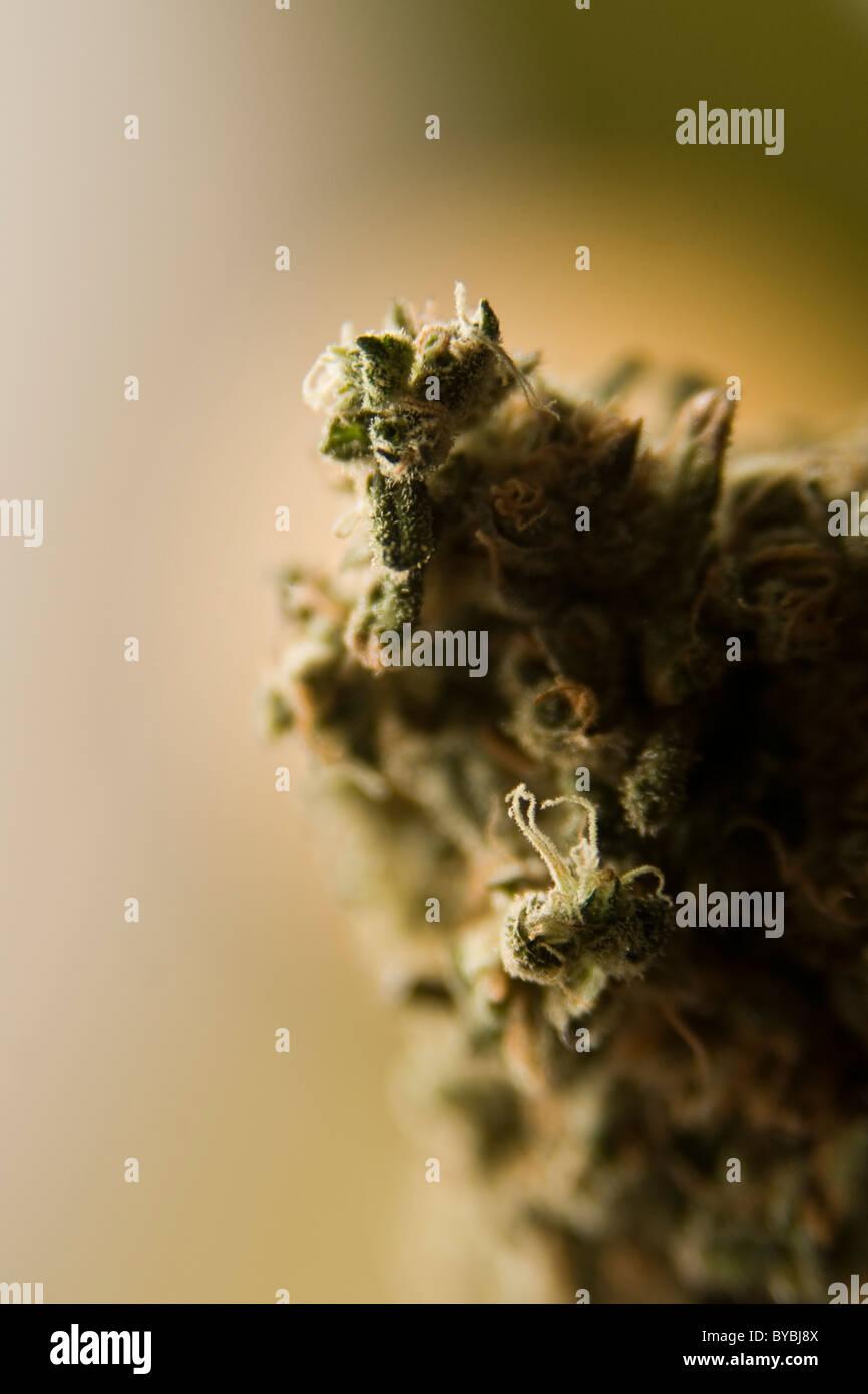 Medical Marijuana from Colorado. - Stock Image