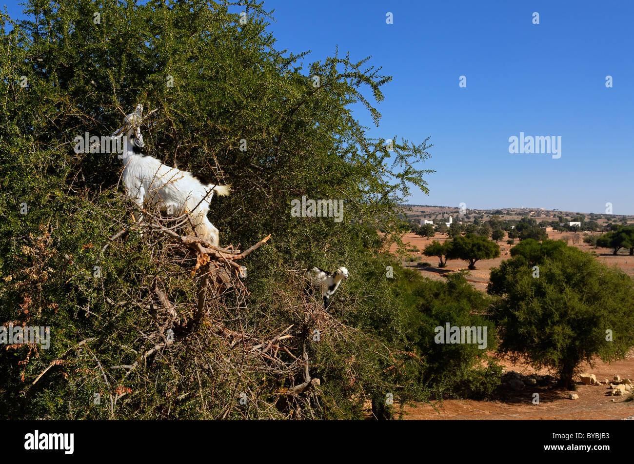 Two goats high up an Argan tree to eat the seed kernels south of Essaouira Morocco - Stock Image