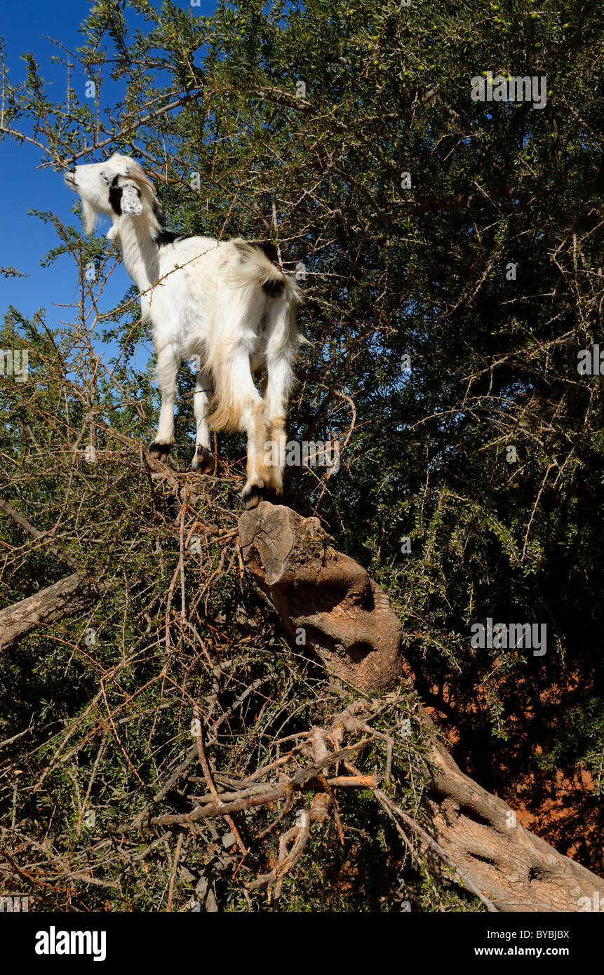 Goat climbing up an Argan tree in Morocco to eat the seed kernels - Stock Image