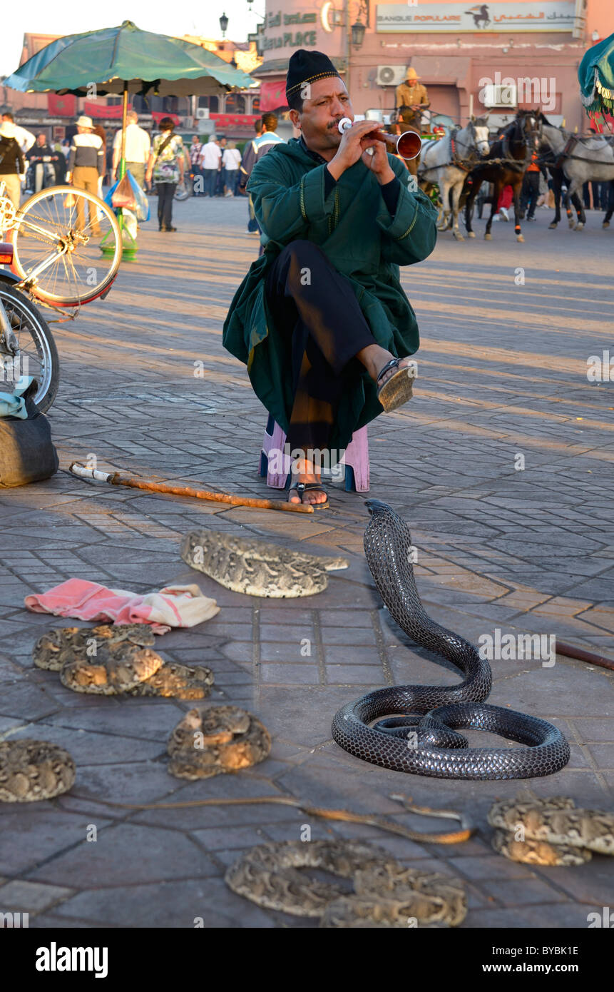 Coiled black cobra and other snakes being charmed by a flute in Place Djemaa el Fna market Marrakech Morocco - Stock Image