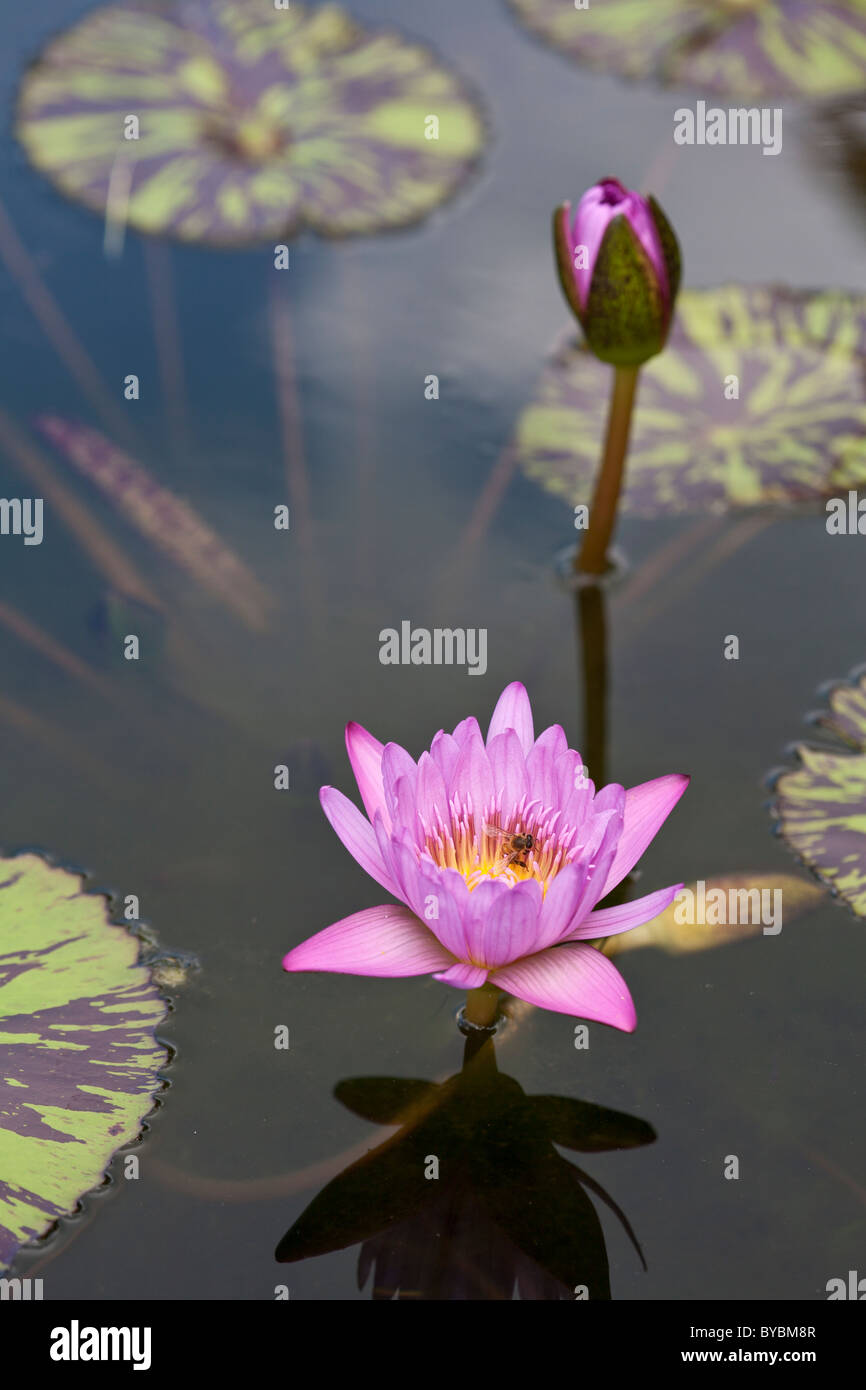 Honey Bee and Water Lily. A honey bee explores the interior of a water lily flower on a calm pond. - Stock Image