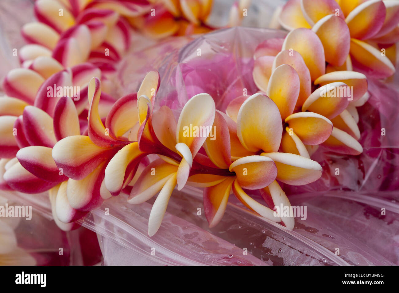 Lei in pink and burgundy, white and red. A fine and colourful Lei awaits a buyer at the regular Thursday Kilauea - Stock Image
