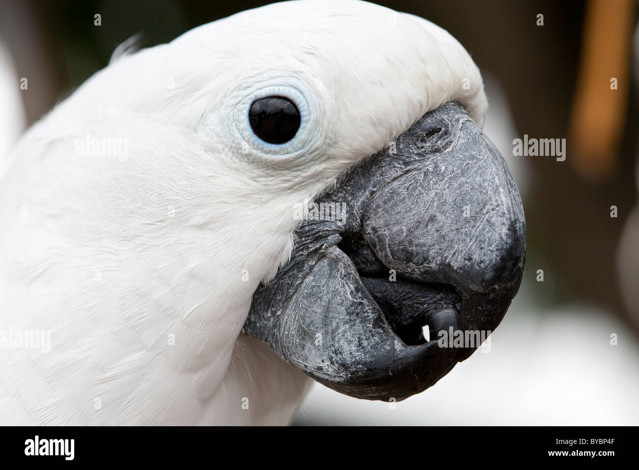 Daphne the Umbrella Cockatoo. This pet Cockatoo is a regular feature of the Kong Lung Company shopping center in - Stock Image