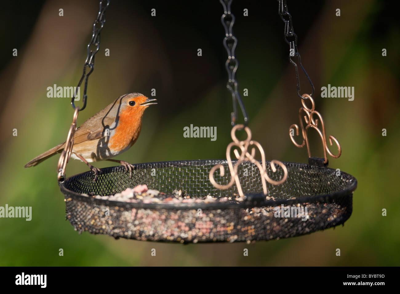 Robin; Erithacus rubecula; on a tray feeder; garden; Cornwall - Stock Image