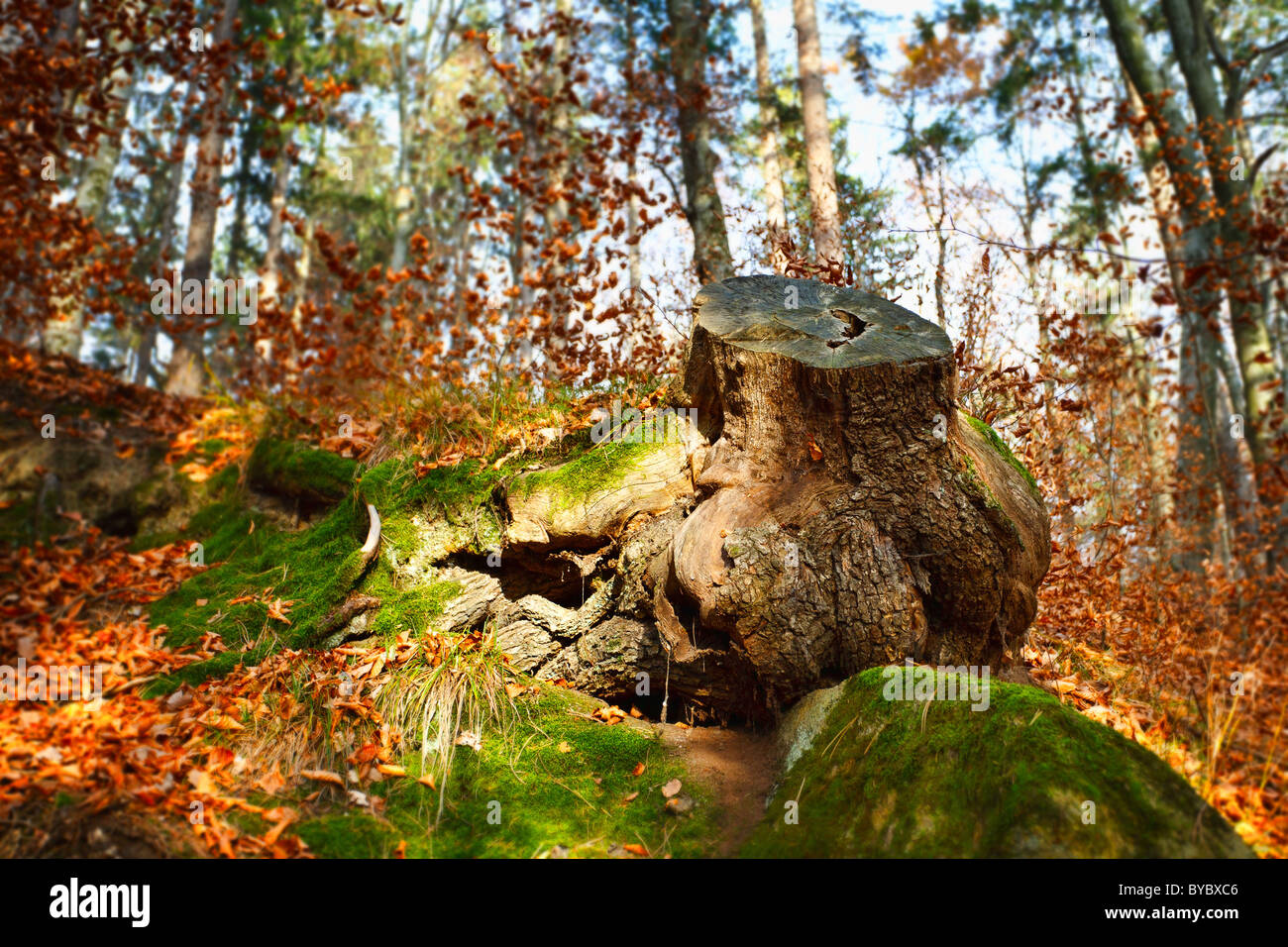 Big stump with moss in a beech forest - Stock Image