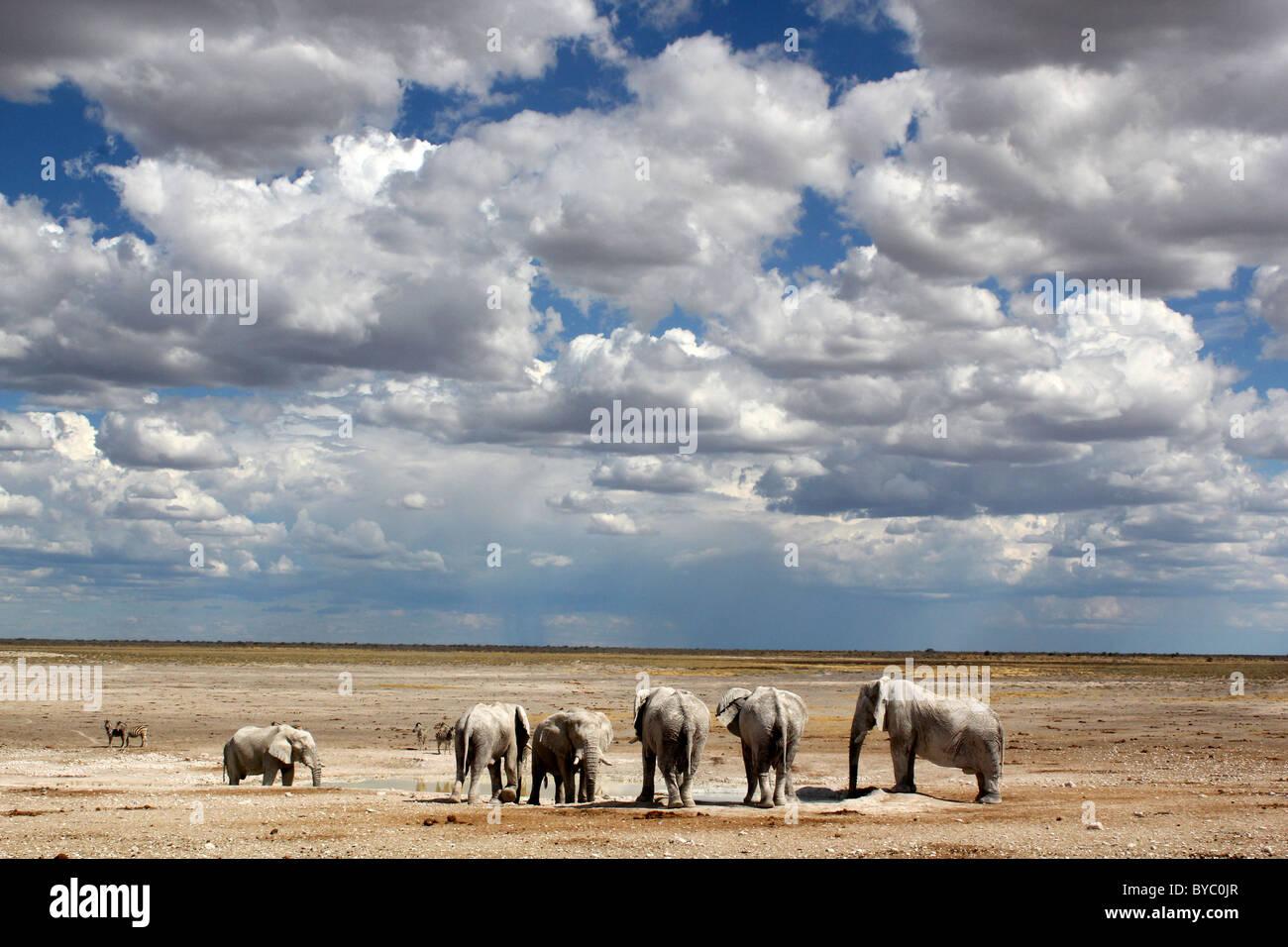 Elephants at waterhole at Etosha National Park in Namibia - Stock Image