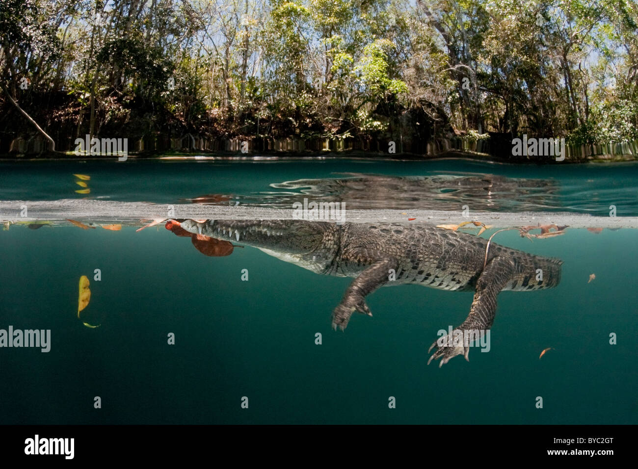 morelet's crocodile, crocodylus moreletii, yucatan peninsula, mexico