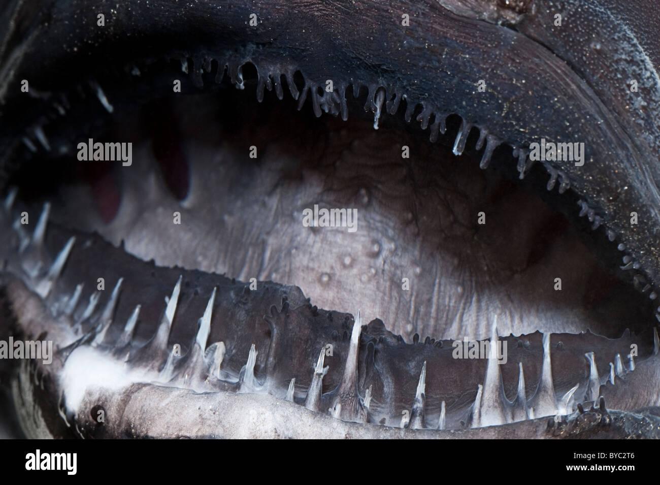 teeth of deep sea anglerfish or black seadevil, Diceratias pileatus, Hawaii - Stock Image