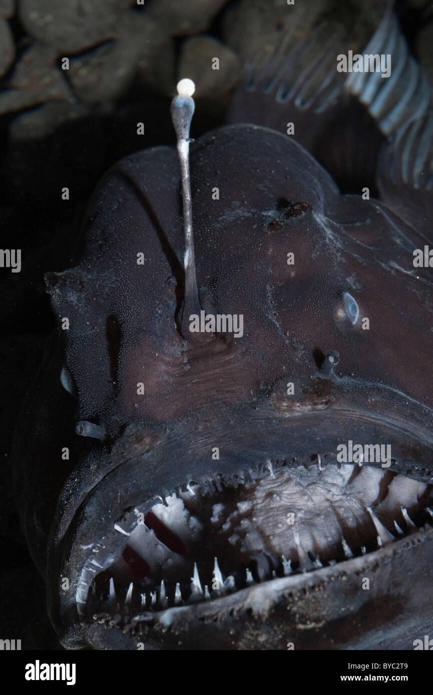deep sea anglerfish or black seadevil, Diceratias pileatus, with bioluminescent lure, Hawaii - Stock Image