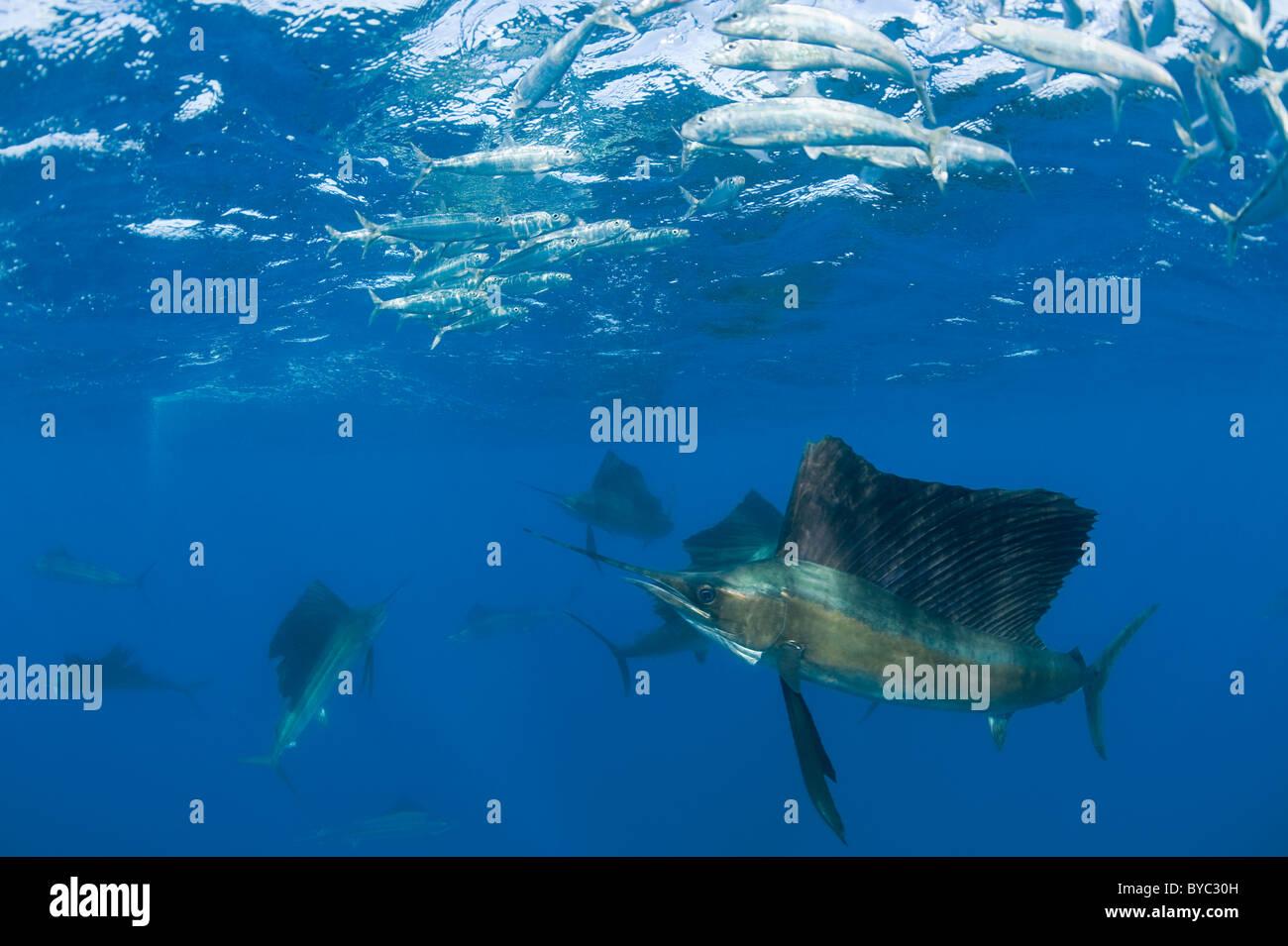 Atlantic sailfish, Istiophorus albicans, hunting sardines, Mexico ( Caribbean Sea ) - Stock Image