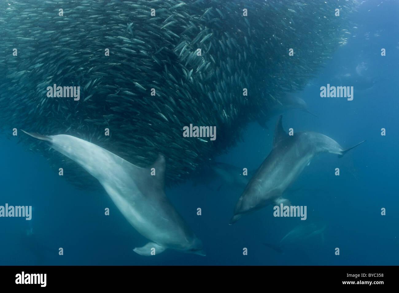 bottlenose dolphins, Tursiops truncatus, prey on bait ball of sardines during Sardine Run, South Africa Stock Photo