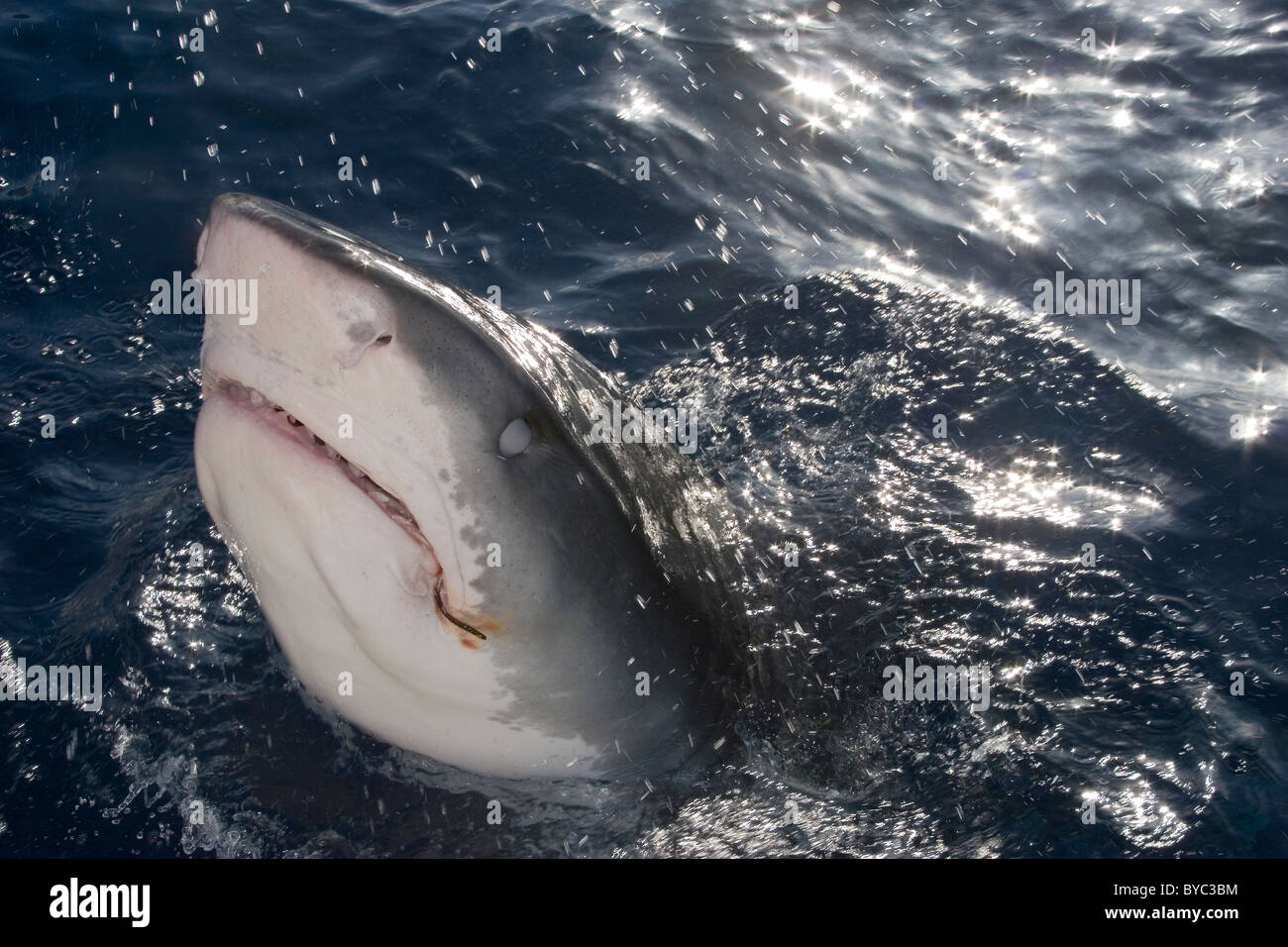 tiger shark ( Galeocerdo cuvier ) lunging for bait, North Shore, Oahu, Hawaii, USA ( Central Pacific Ocean ) - Stock Image