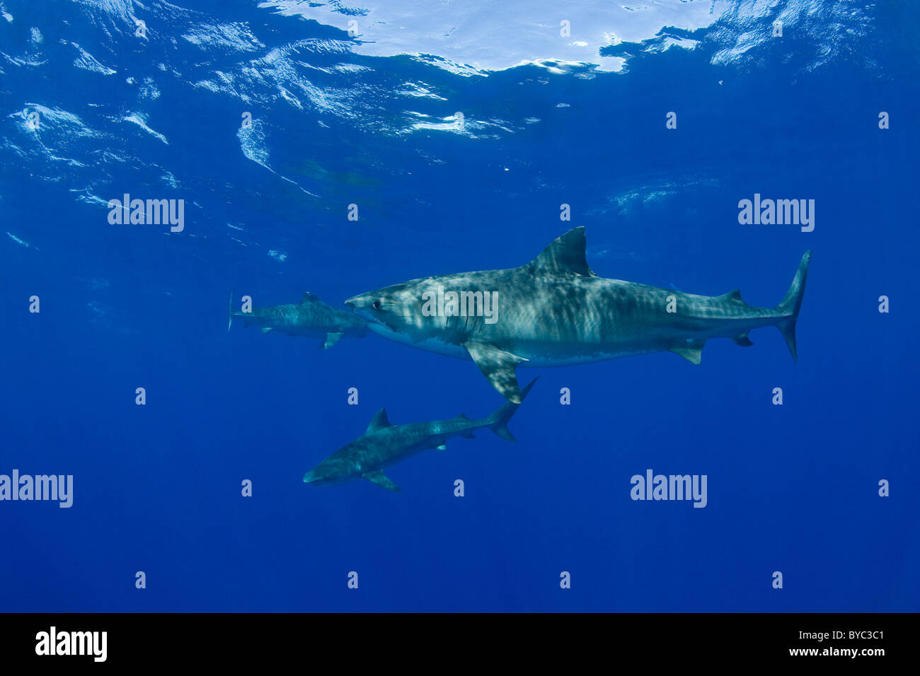 tiger sharks ( Galeocerdo cuvier ) North Shore, Oahu, Hawaii, USA ( Central Pacific Ocean ) - Stock Image