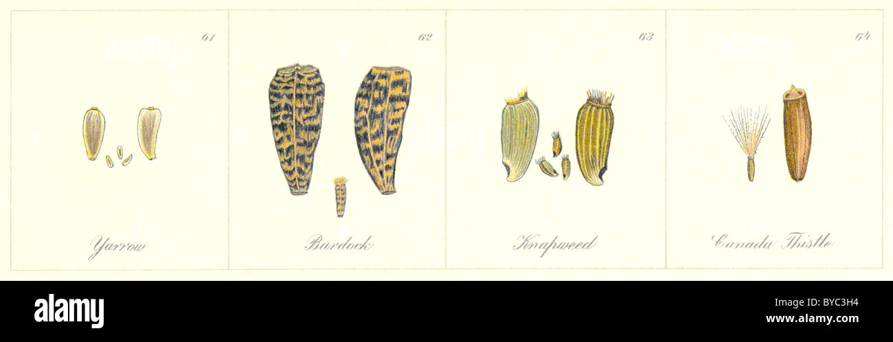 Farm Weeds (1906): their seeds [detail], drawn by Norman Criddle: Yarrow, Burdock, Knapweed, Canada Thistle - Stock Image