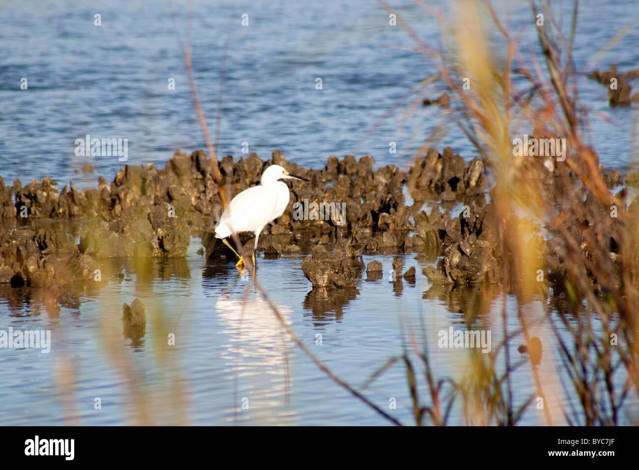 Little Egrets in the Marsh - Stock Image