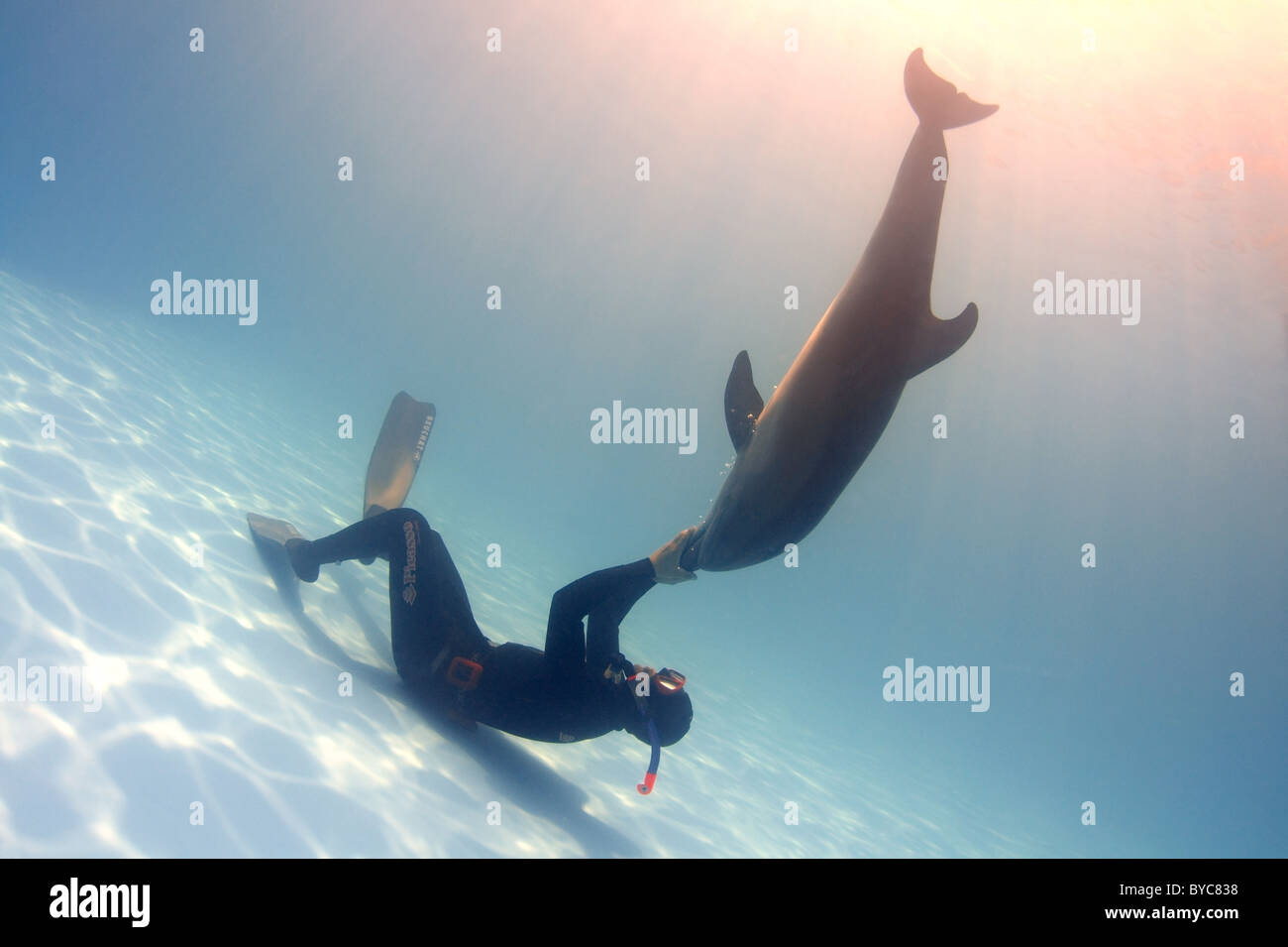 Freediver and Bottlenose Dolphin, (Tursiops truncatus) - Stock Image