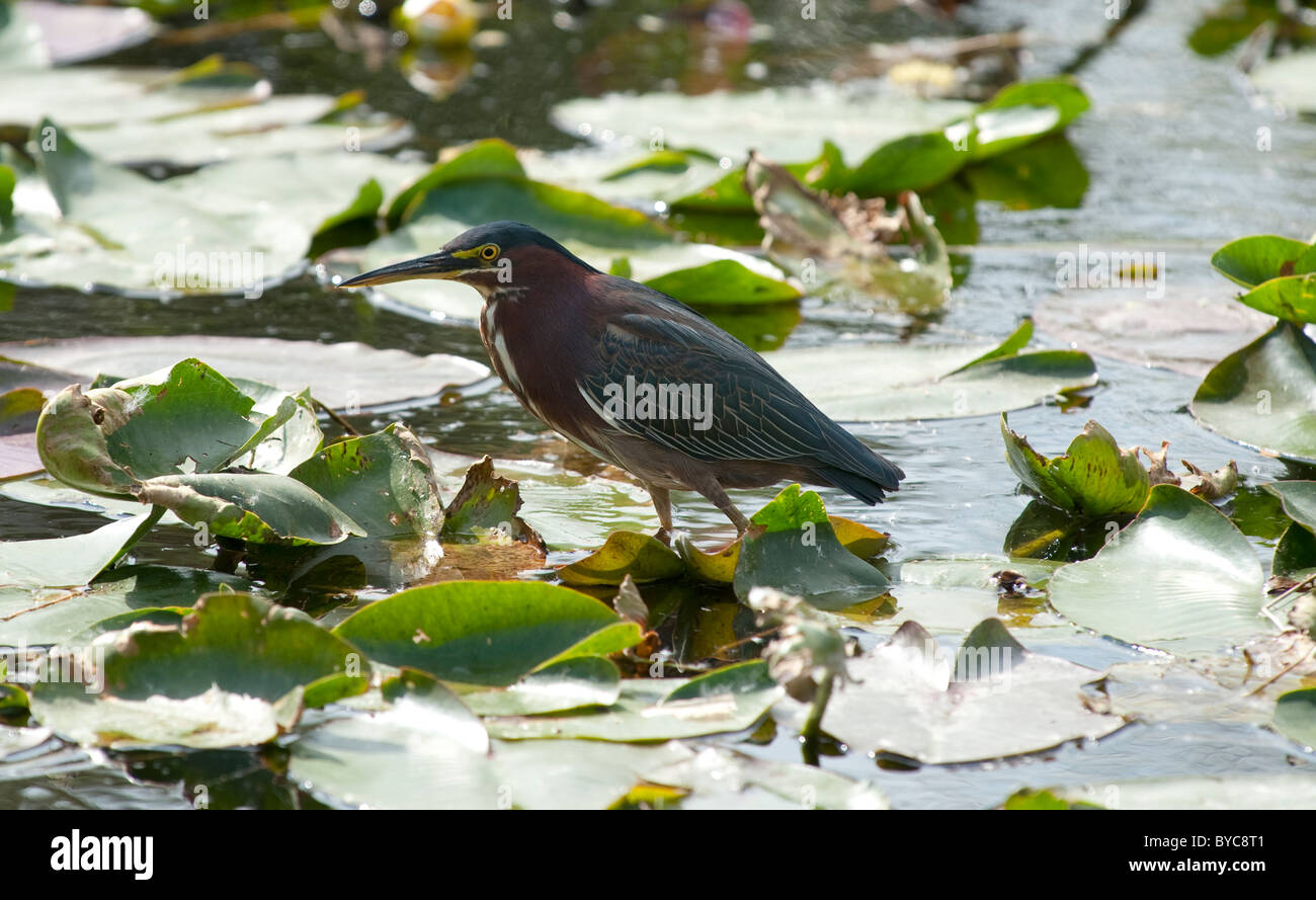 Green Heron (Butrides virecens) on water lilly floating leaves in Florida Keys Stock Photo