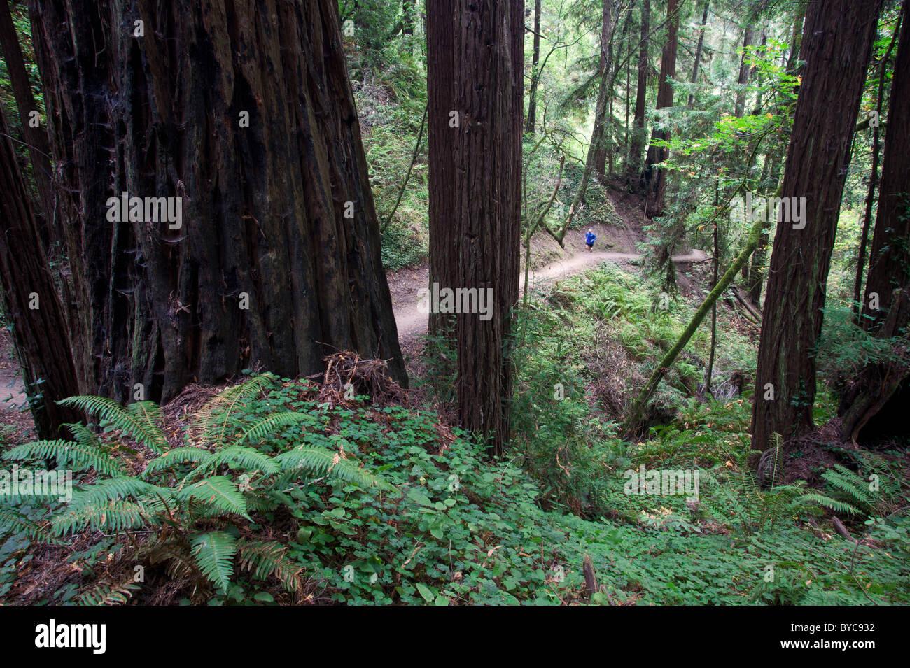Trail running in The Forest of Nisene Marks State Park, Aptos, California (model released) - Stock Image