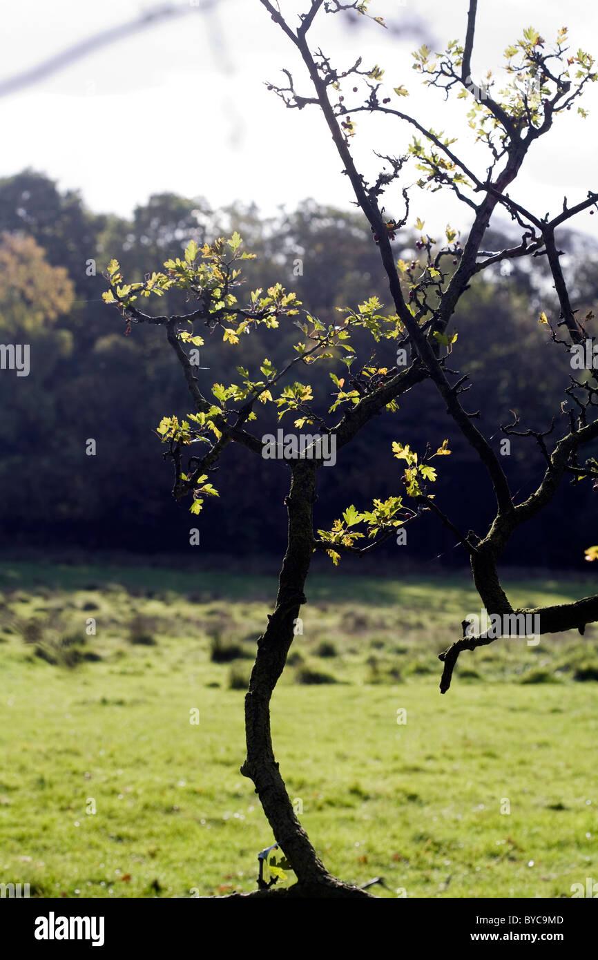 Hawthorn Tree in a hedge Poynton Cheshire England - Stock Image