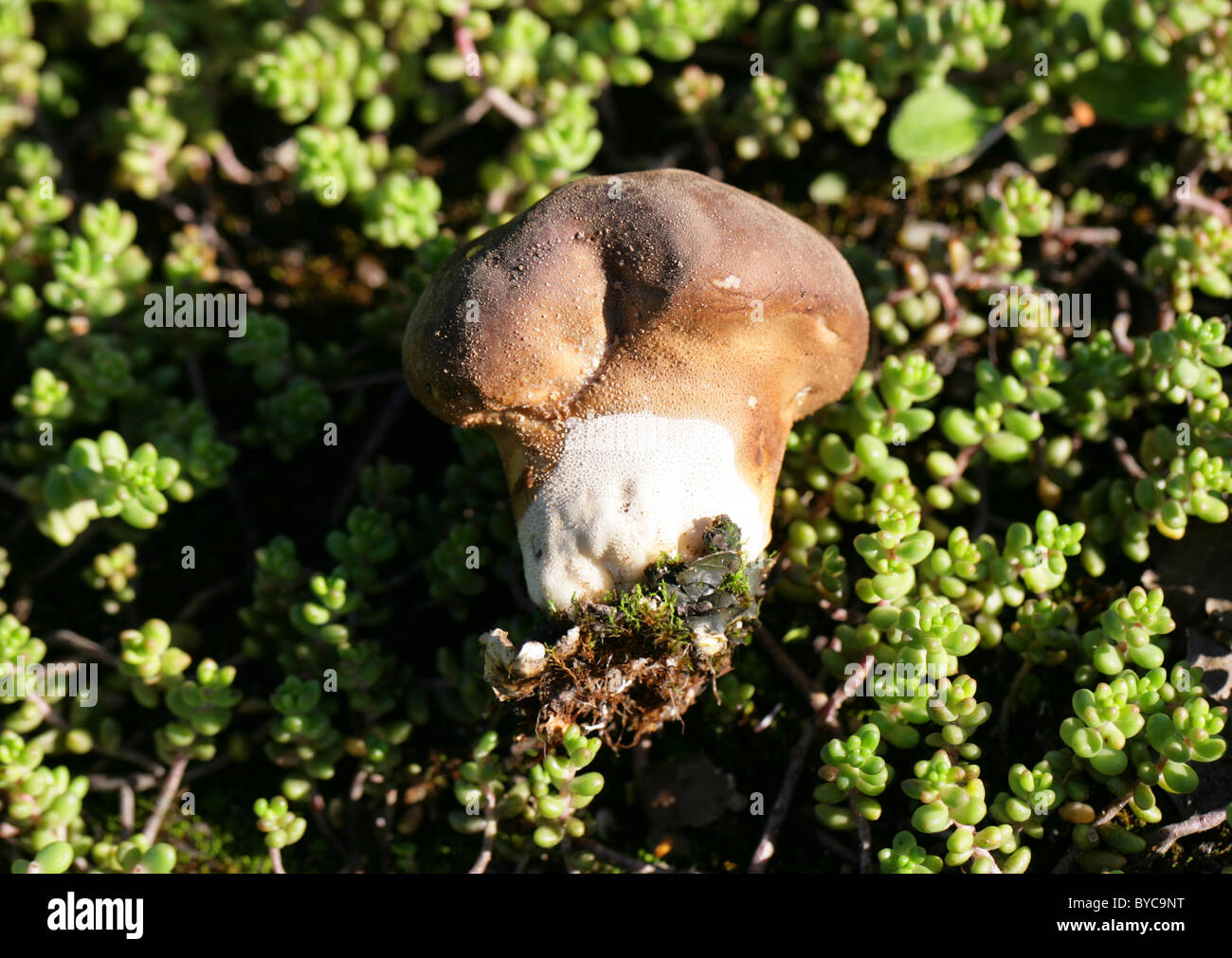 Grassland Puffball, Lycoperdon lividum, Lycoperaceae. Growing on Poor Waste Ground with Biting Stonecrop. - Stock Image
