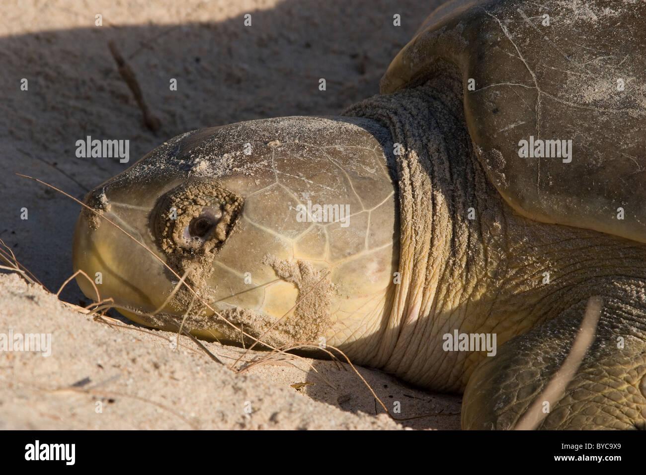 Australian flatback sea turtle ( Natator depressus ) nesting female with tears (excretions from salt glands), Crab Stock Photo